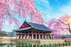 stock-photo-gyeongbokgung-palace-with-cherry-blossom-in-spring-seoul-in-korea-537396286.jpg
